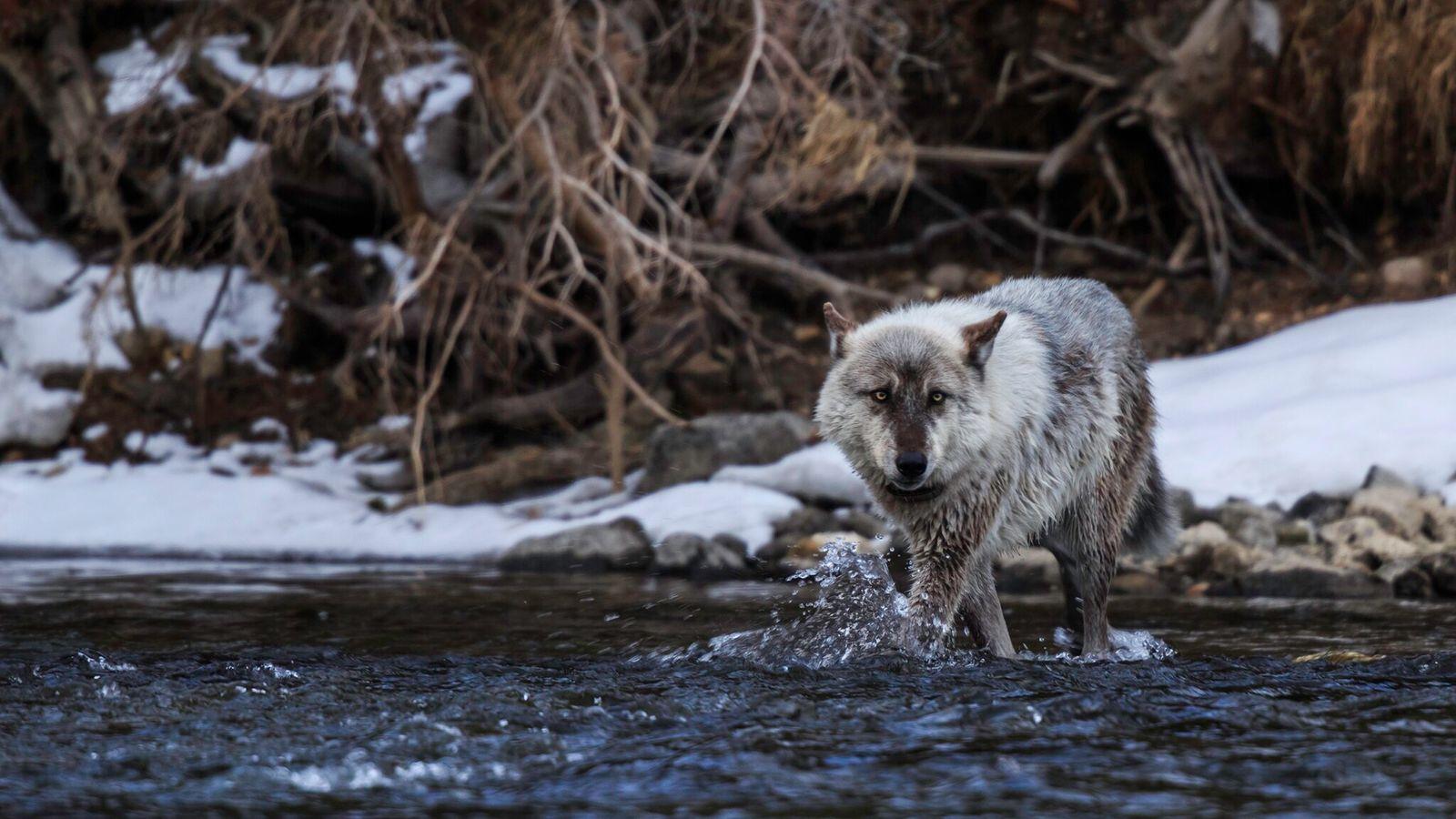 Fotografía de un lobo gris