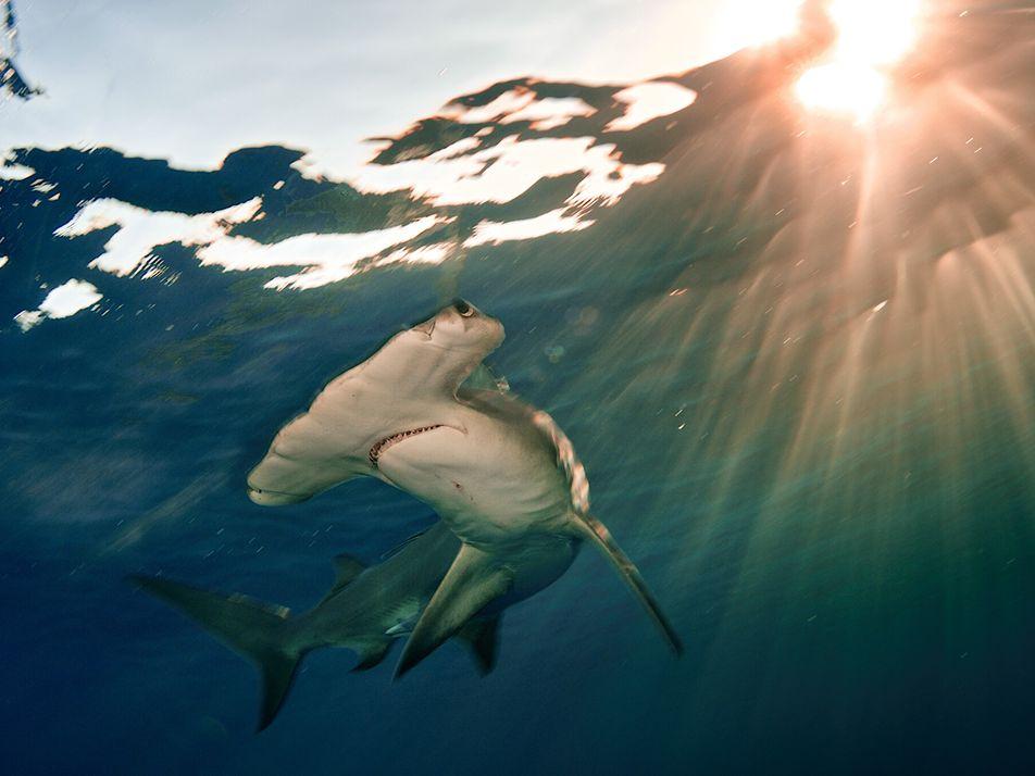 Las poblaciones de tiburones y rayas han disminuido un 70 por ciento en 50 años