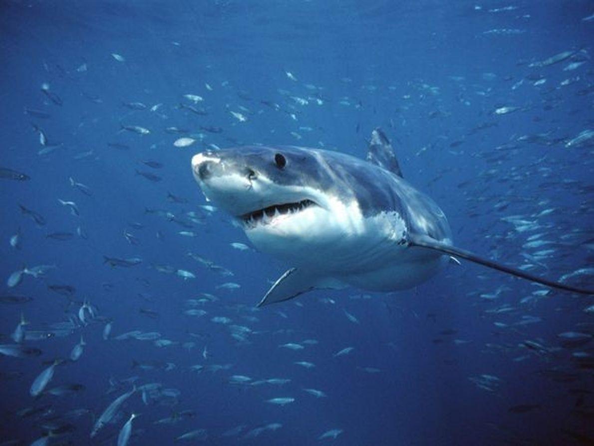 Tiburón Blanco Gigante