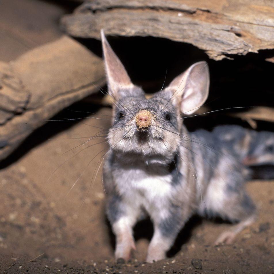 Conoce al bilbi, el «conejo de Pascua» australiano