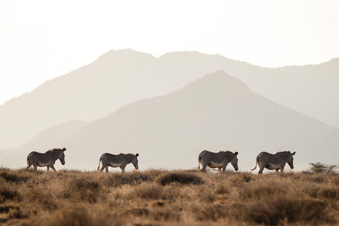 Las cebras de Grévy sobreviven a la sequía con la ayuda de los humanos