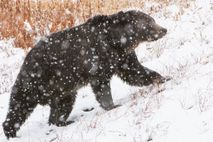 Grizzly bears are considered one of Yellowstone National Park's most iconic species.