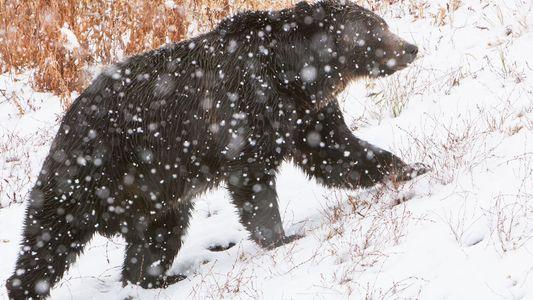 Un tribunal impide la caza de osos grizzly: ¿por qué es un tema tan polémico?