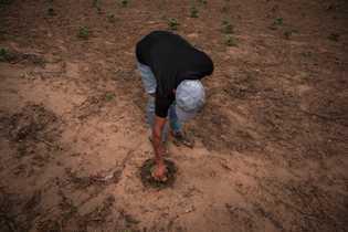 Un agricultor wayuu busca gusanos