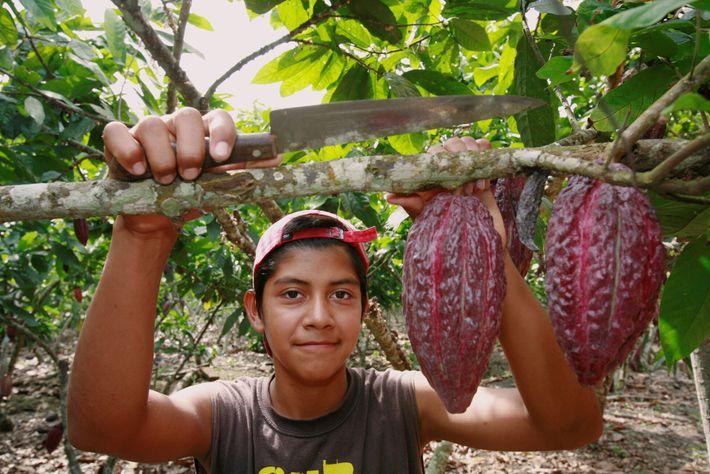 Fotografía de vainas de cacao en Ecuador