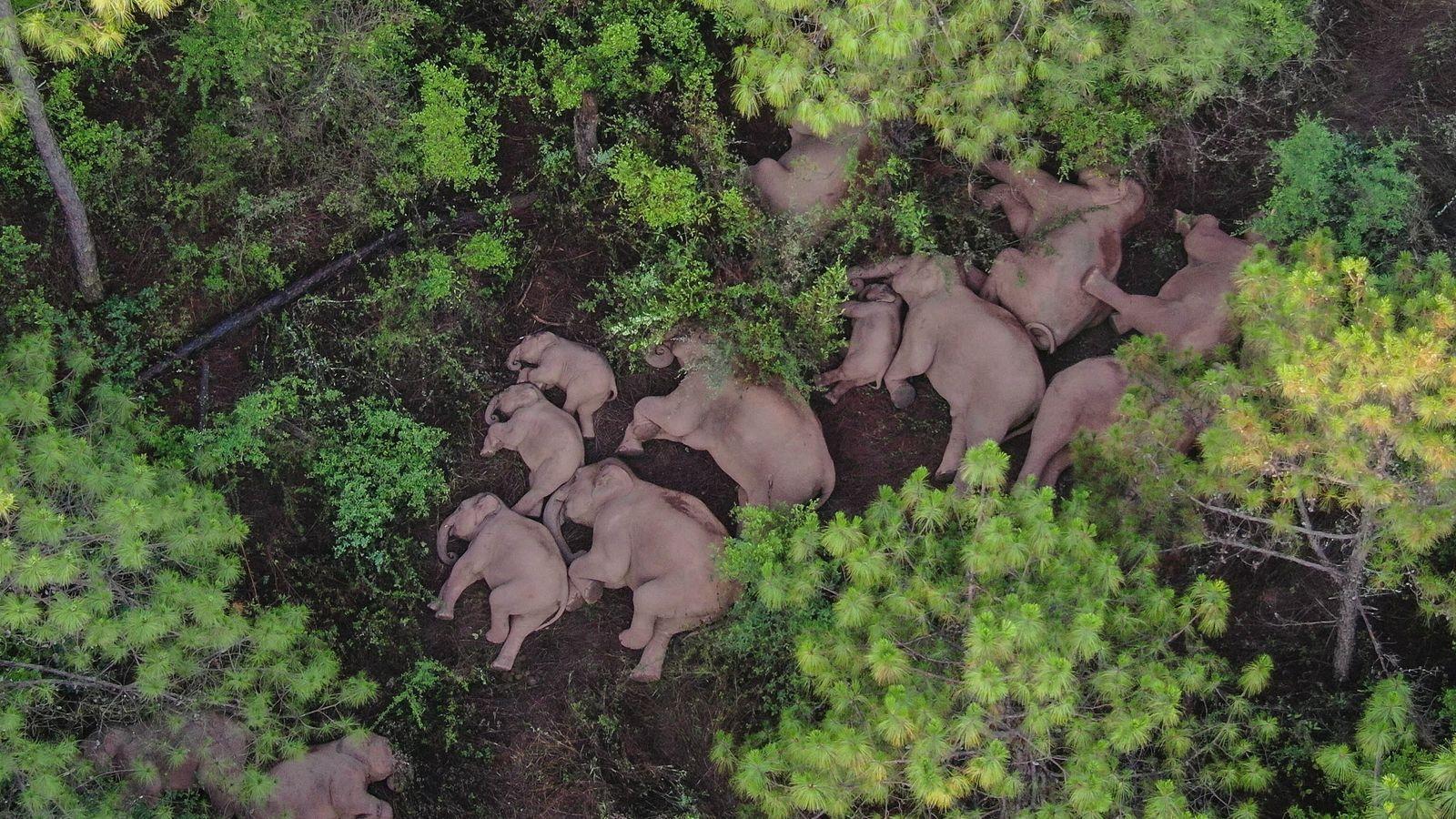 Manada de elefantes asiáticos