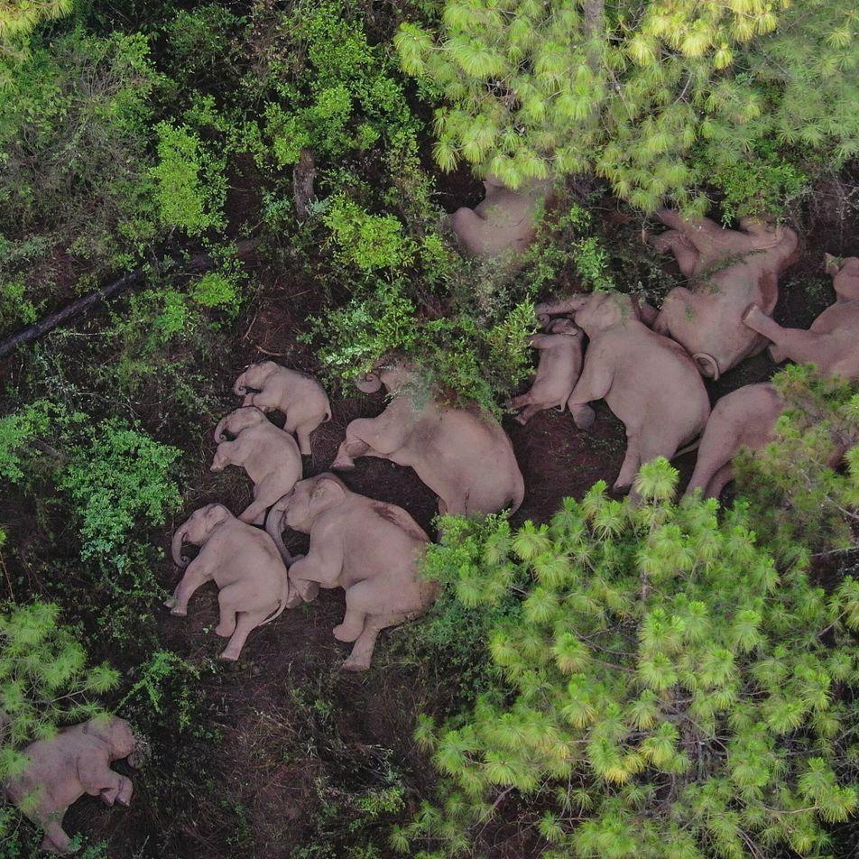 ¿Cómo pueden mantener a salvo a estos elefantes rebeldes de China?