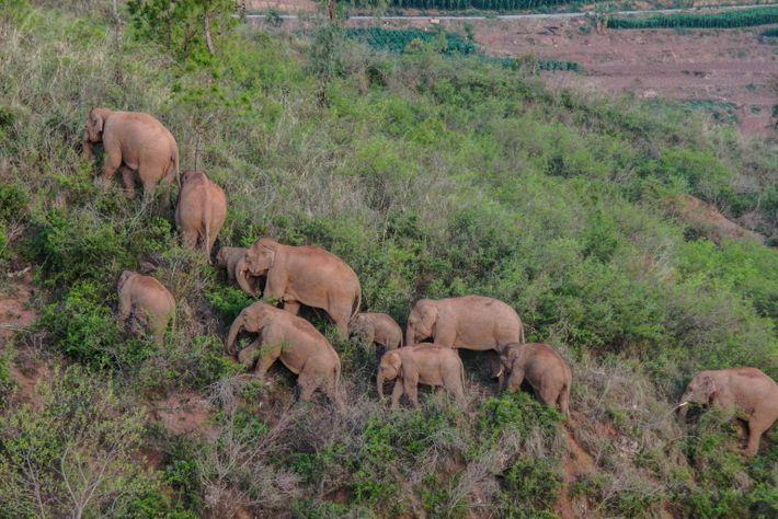 Elefantes caminando por Yuxi