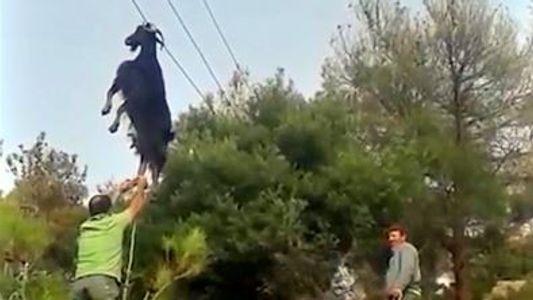 ¿Cómo se ha quedado atrapada esta cabra en un tendido eléctrico?
