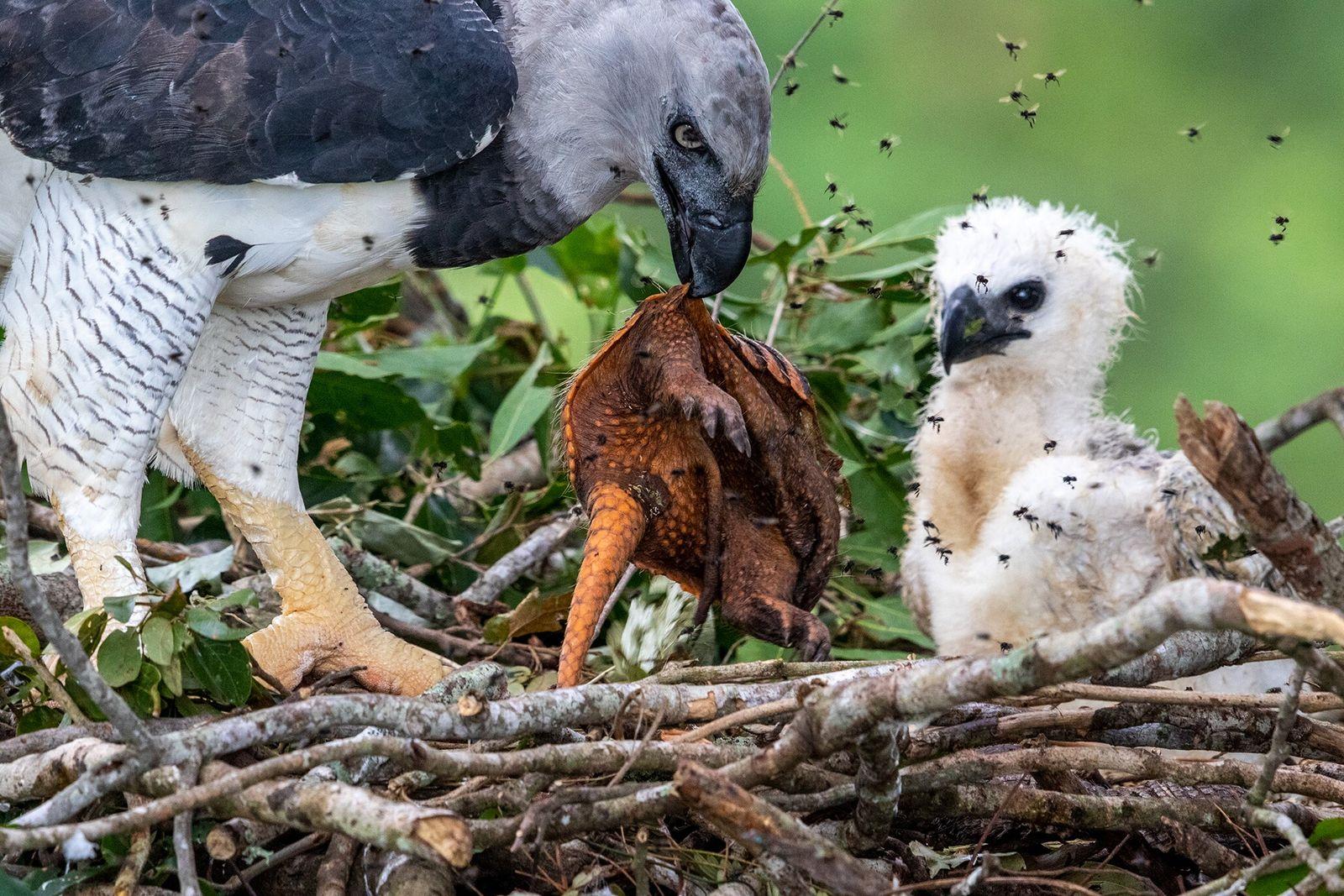 Fotografía de una arpía mayor alimentando a su polluelo