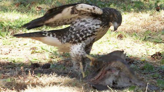 Este joven gavilán ha sido criado por una familia de águilas calvas