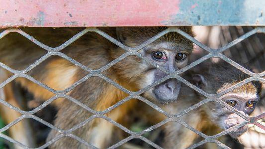 La mayor incautación de monos traficados arroja luz sobre una red de contrabando africana