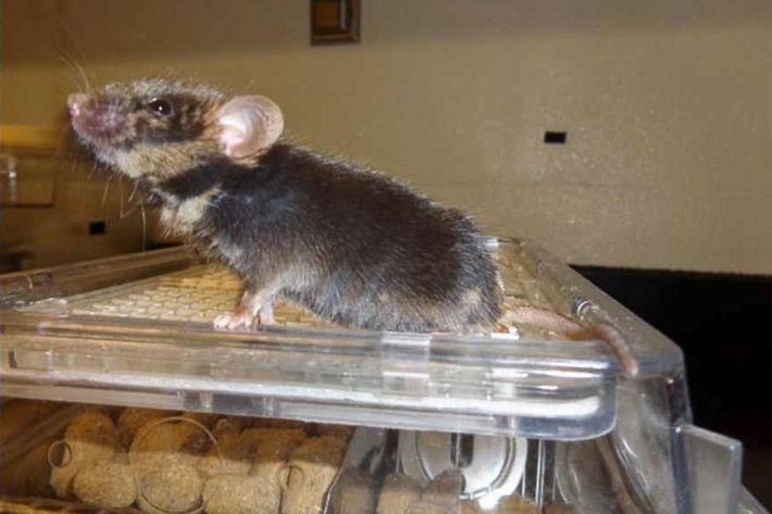 Esta quimera de un año de edad nació de un ratón inyectado con células madre de ...