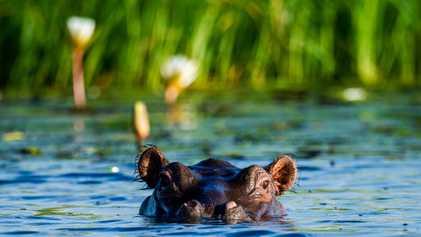El ántrax podría ser el responsable de la muerte de 100 hipopótamos en Namibia