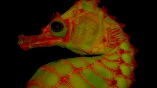 Un esqueleto de caballito de mar