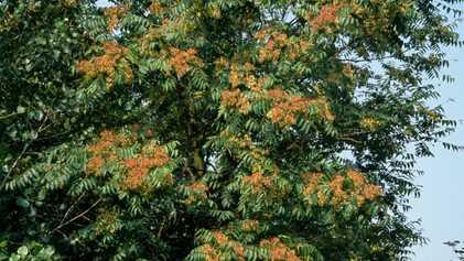 El árbol del cielo es una especie invasora infernal. ¿Podría erradicarlo este hongo?