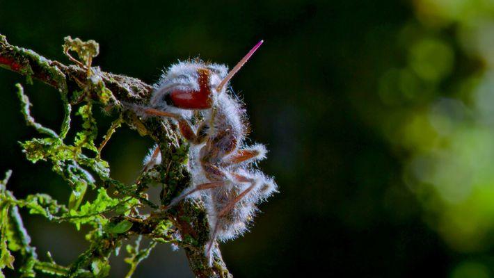Este hongo parásito convierte a los insectos en zombis a su merced