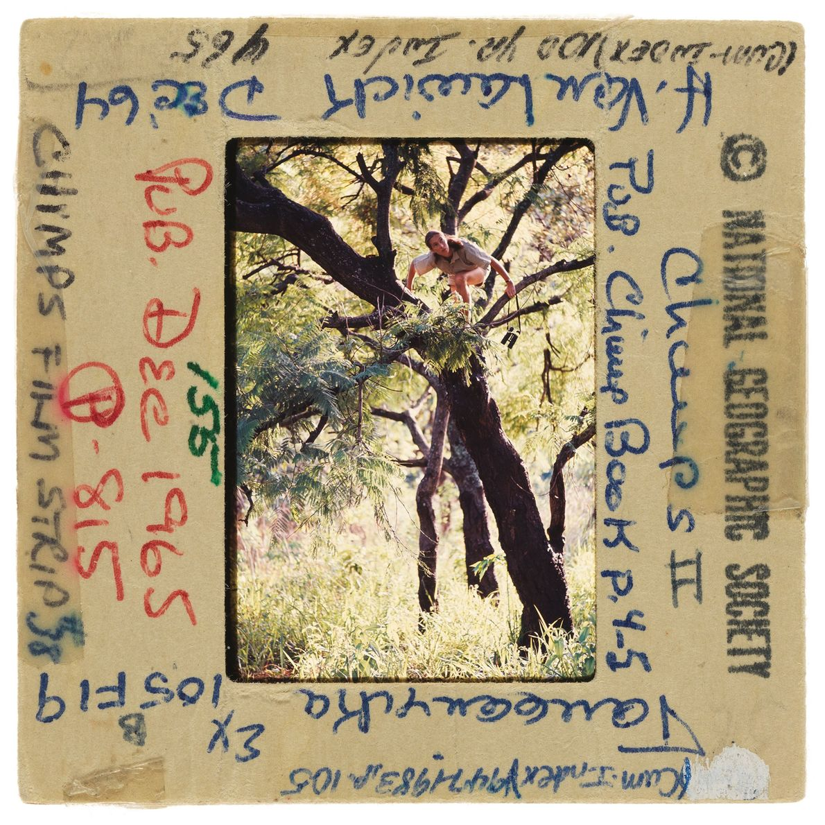 Jane Goodall trepa a un árbol