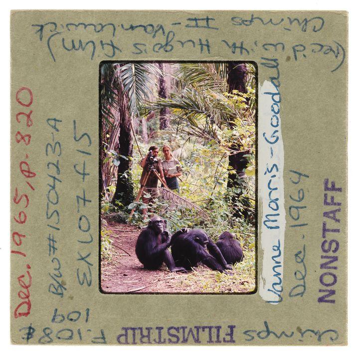 Hugo van Lawick y Jane Goodall