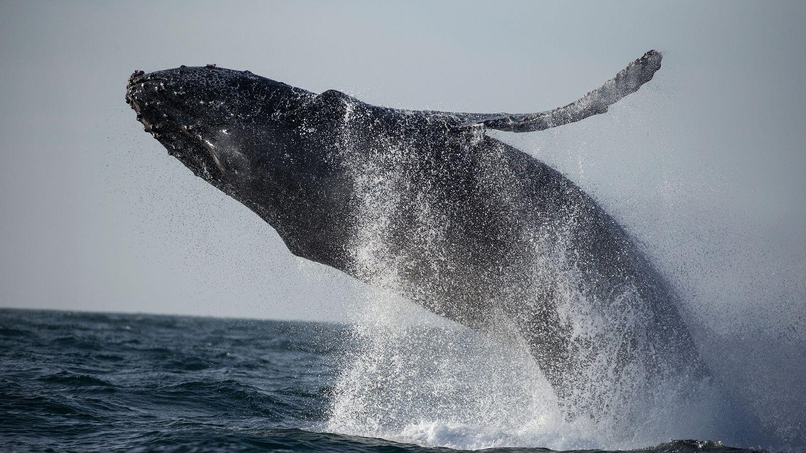 Fotografía de una ballena jorobada