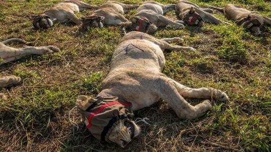 Cuando los leones devoran el ganado, lo habitual es trasladarlos, pero a menudo resulta mortal