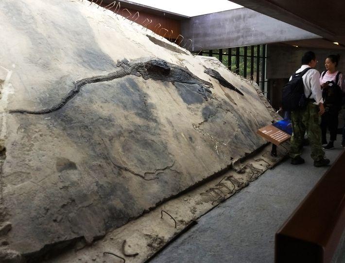 Espécimen de ictiosaurio