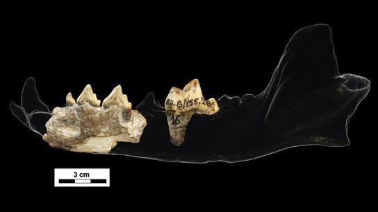 Fragmentos de mandíbula y dientes
