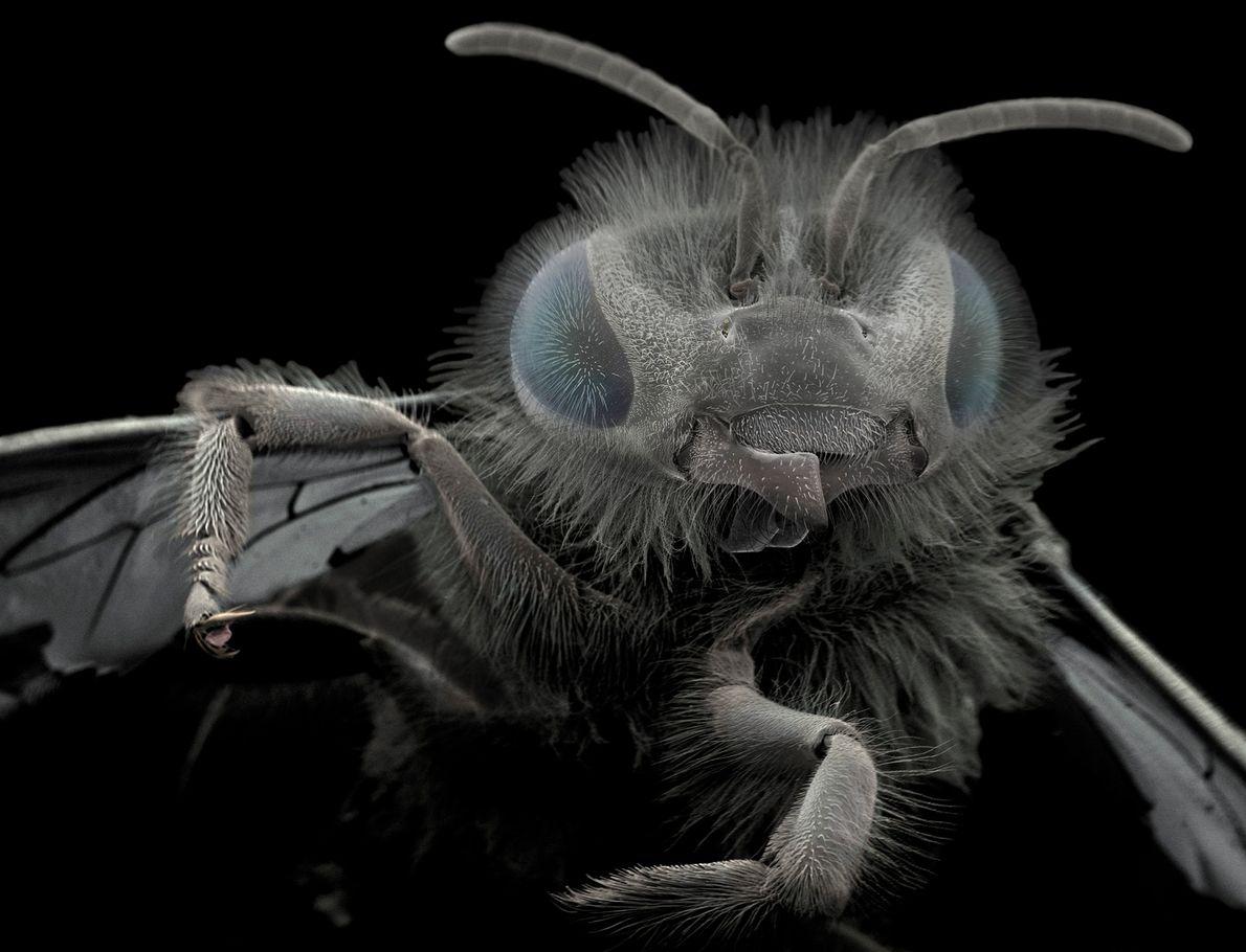 Wiik-Nielsen encontró esta abeja en su jardín. Las estructuras en la base de la cabeza se …