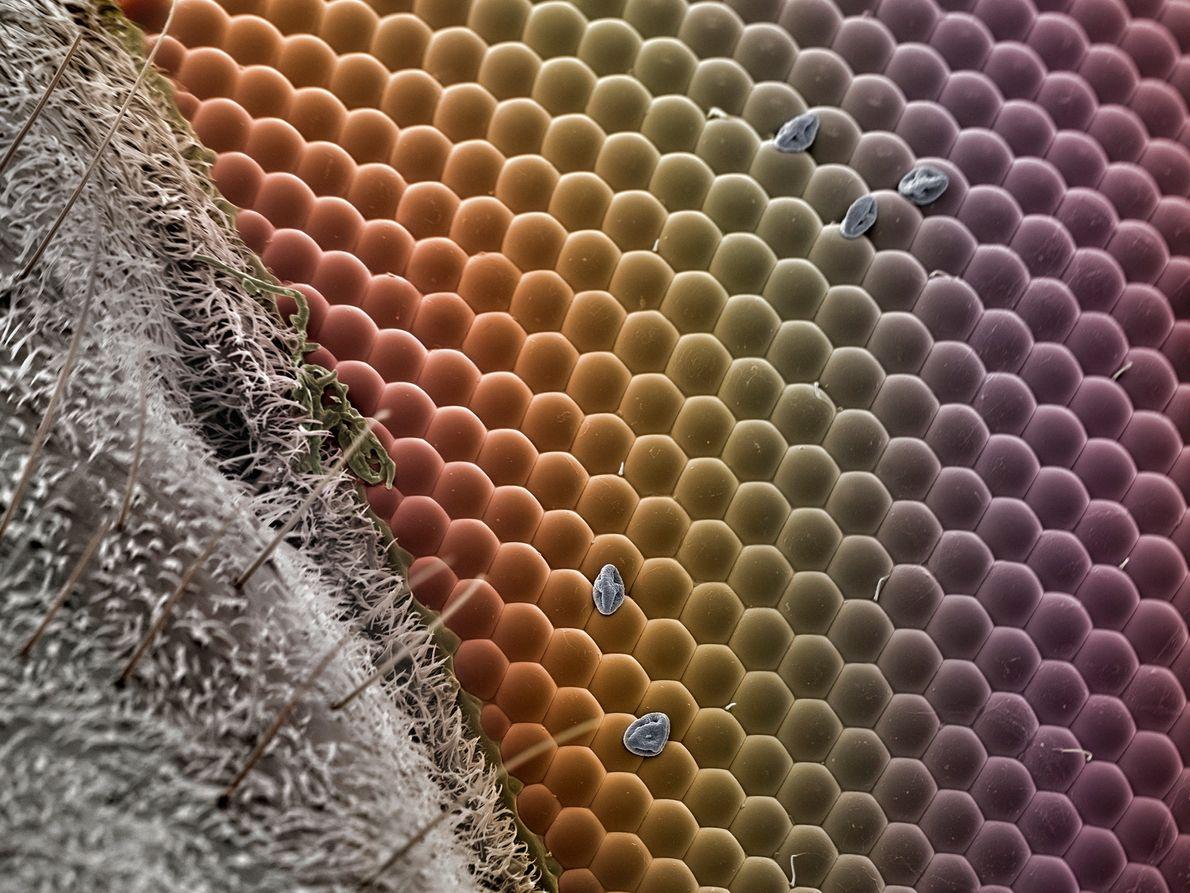 """Pueden verse unos cuantos granos de polen en este detalle del ojo de un sírfido. """"El …"""