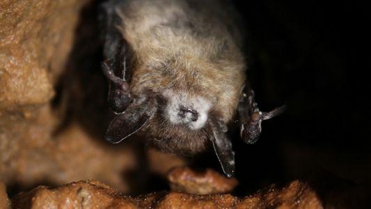 El síndrome de la nariz blanca ha devastado a los murciélagos, pero algunos han desarrollado inmunidad