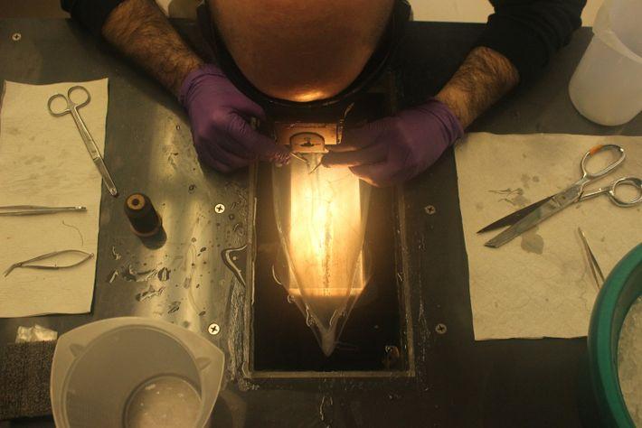 Disección de un calamar de aleta larga en Woods Hole