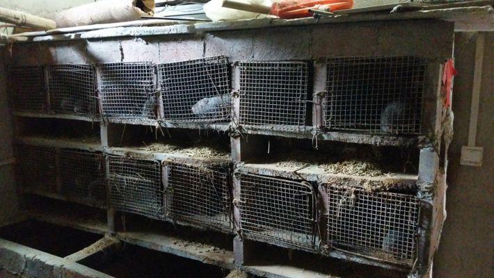 Granja de ratas del bambú