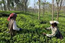 Recolectoras de té