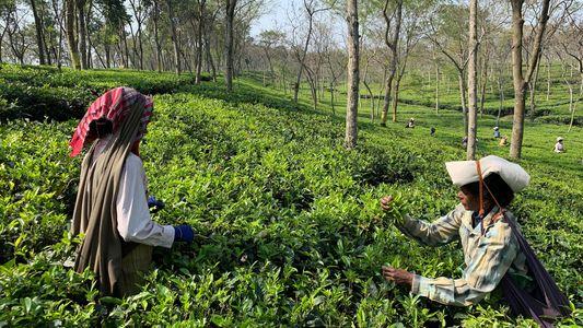 Las trabajadoras de las plantaciones de té de la India se enfrentan a la pobreza y ...