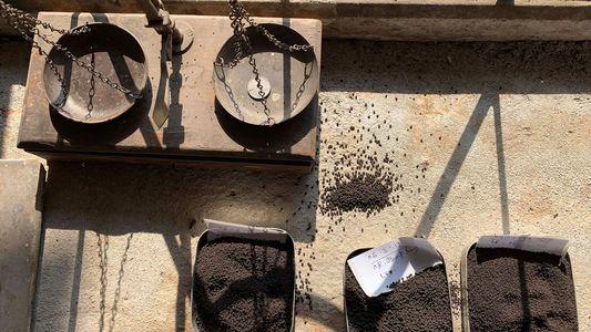 Las recolectoras de té de la India
