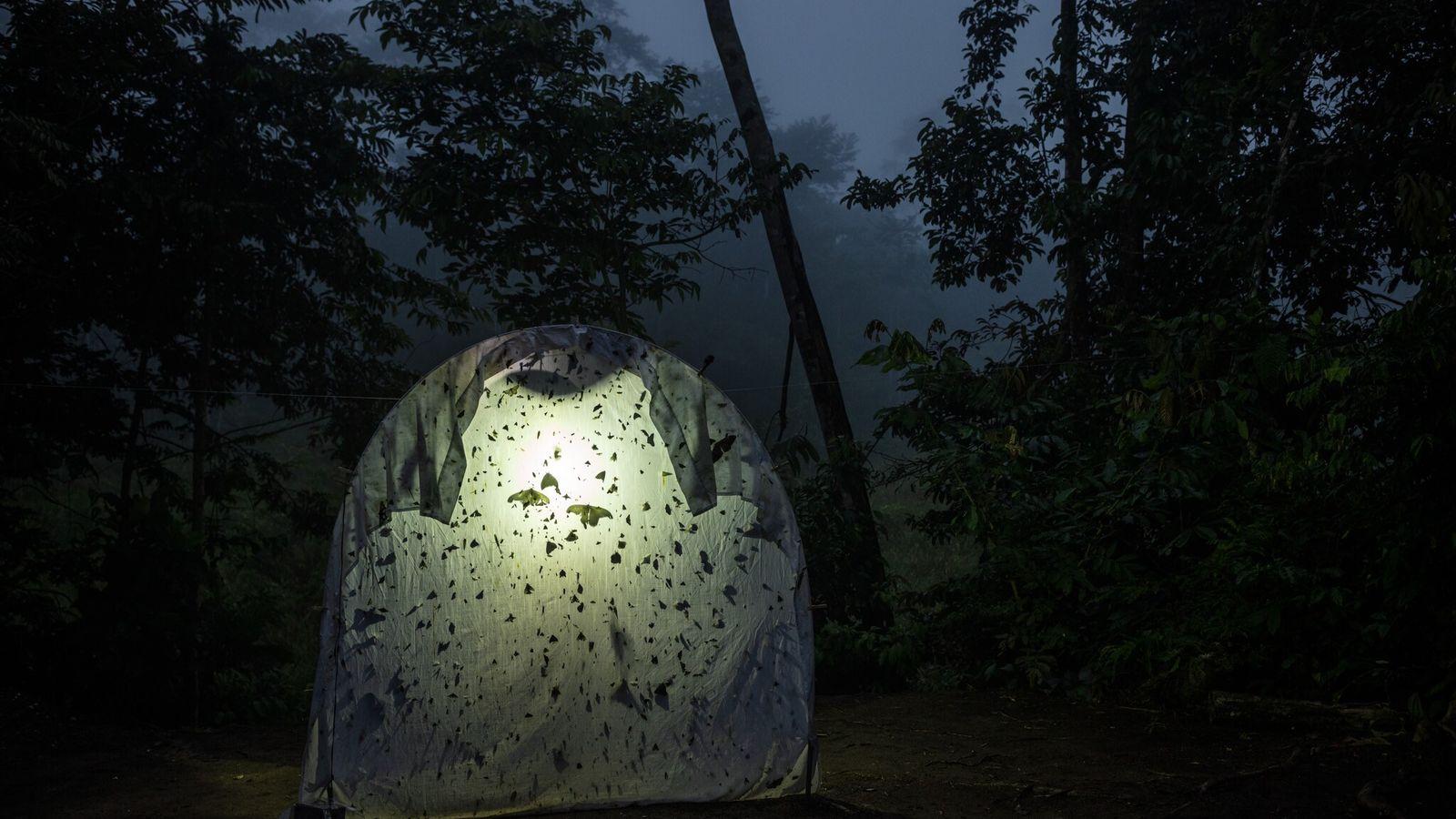 Insectos voladores nocturnos se acumulan en una sábana iluminada