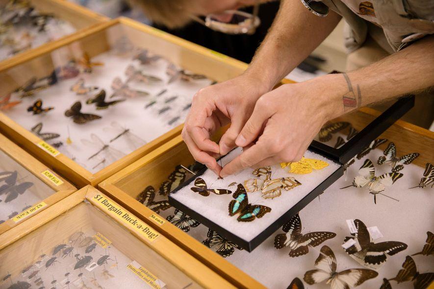 Cumming monta una colección de insectos para un cliente. Entre los artículos comprados figuran una mariposa cebra, una mariposa tornasolada y una hormiga león gigante.