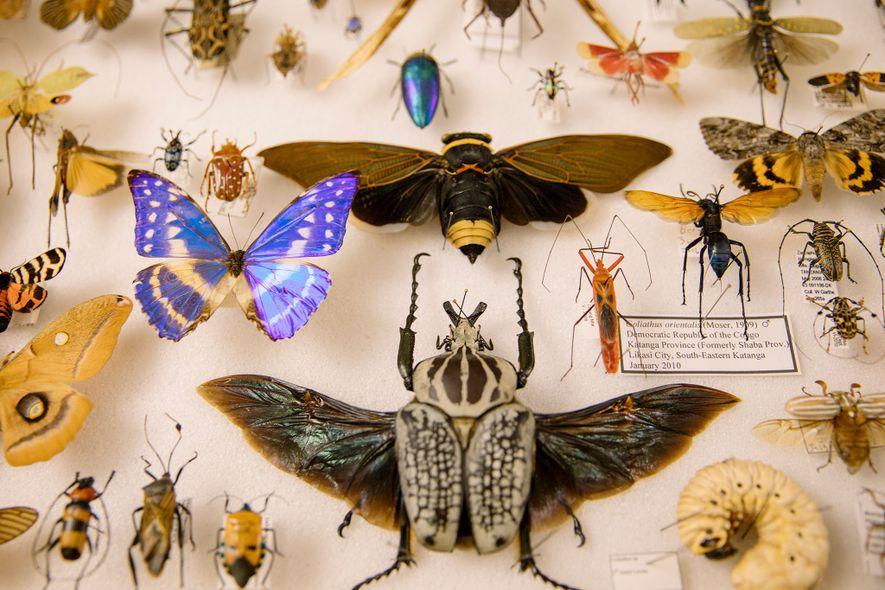 Royce Cumming —uno entre decenas de vendedores de insectos y artrópodos disecados de la Bug Fair del Museo de Historia Natural de Los Ángeles, celebrada en mayo— muestra su colección personal. Incluye un escarabajo Goliat, una mariposa morfo azul y una polilla Polyphemus.