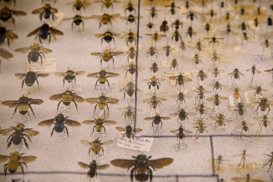 Algunas personas coleccionan incluso abejas disecadas. Se exhiben muchas en la Bug Fair.