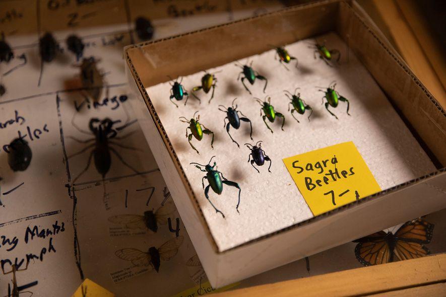 En el puesto del vendedor Bob Duff, en la Bug Fair, los escarabajos Sagra buqueti valen siete dólares la unidad. Duff ofrece una amplia variedad de especies de escarabajos.