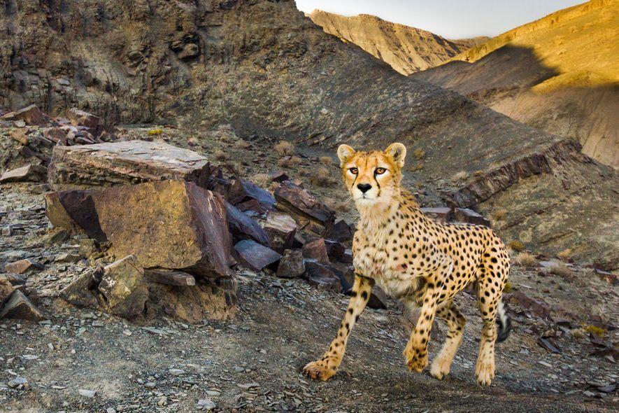 Los investigadores de fauna detenidos en Irán estudiaban al guepardo asiático, especie en peligro crítico de ...