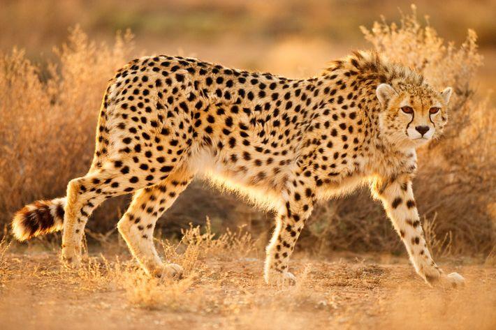 Fotografía de un guepardo asiático