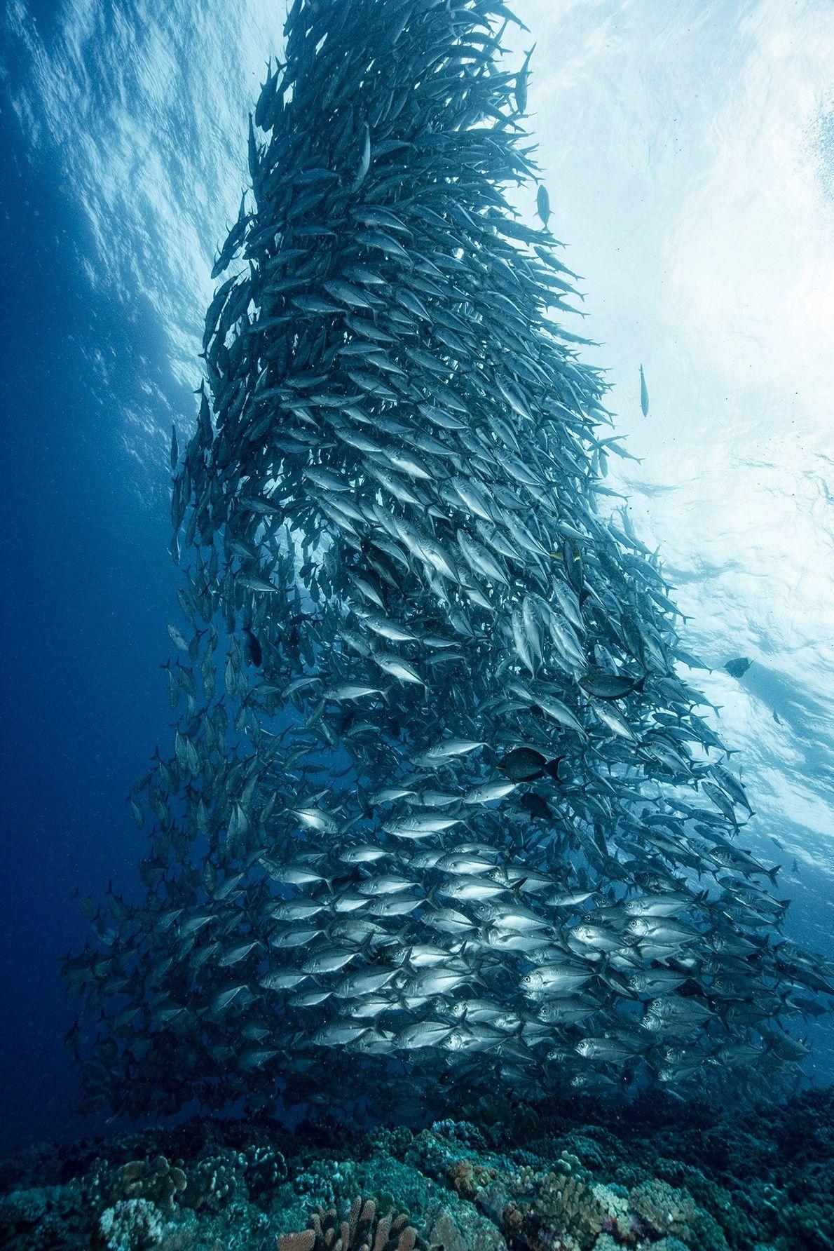 «En primavera, nos encontramos con un gran banco de peces cerca de la isla Aguni, Japón. …