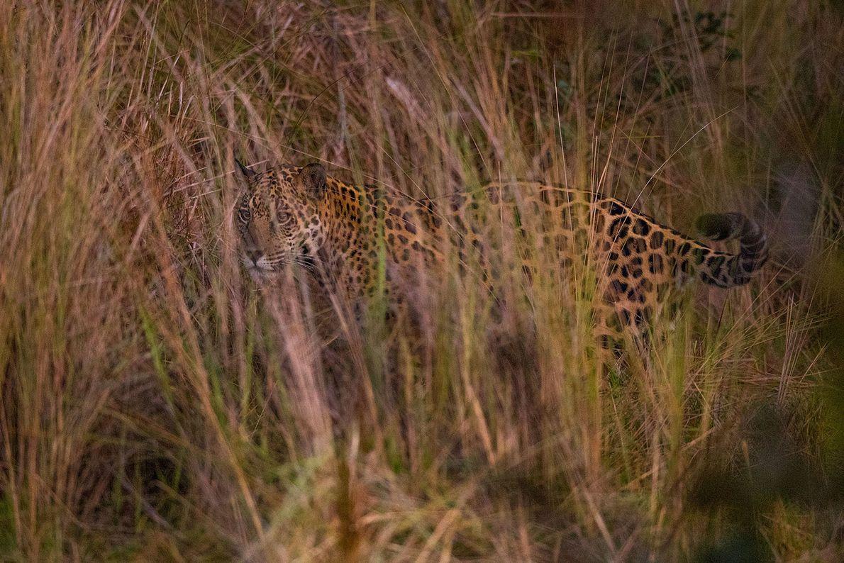 Jaguar en El Pantanal
