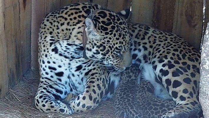 Nacen cachorros de jaguar en un parque argentino por primera vez en 100 años
