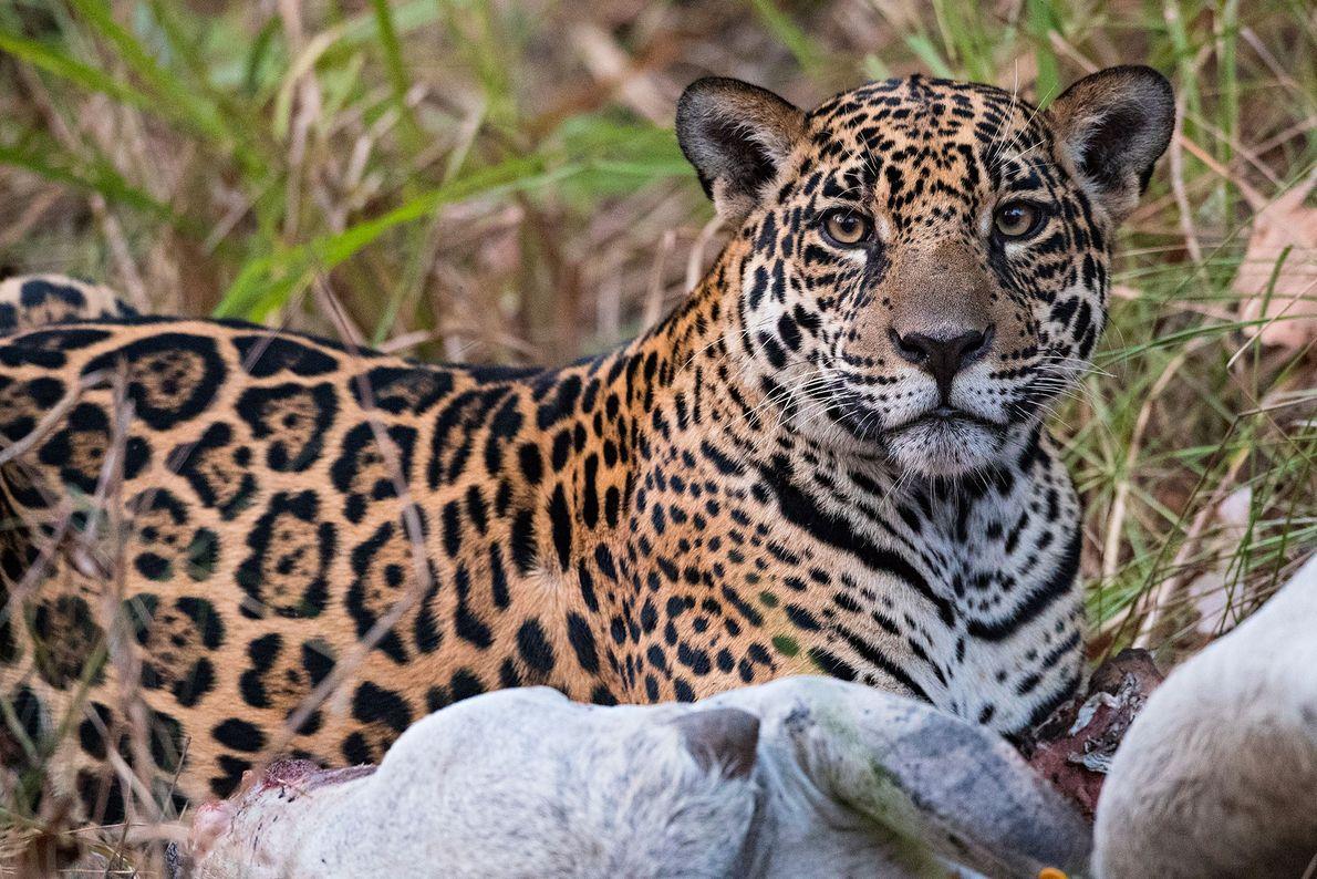 Un jaguar devora una vaca