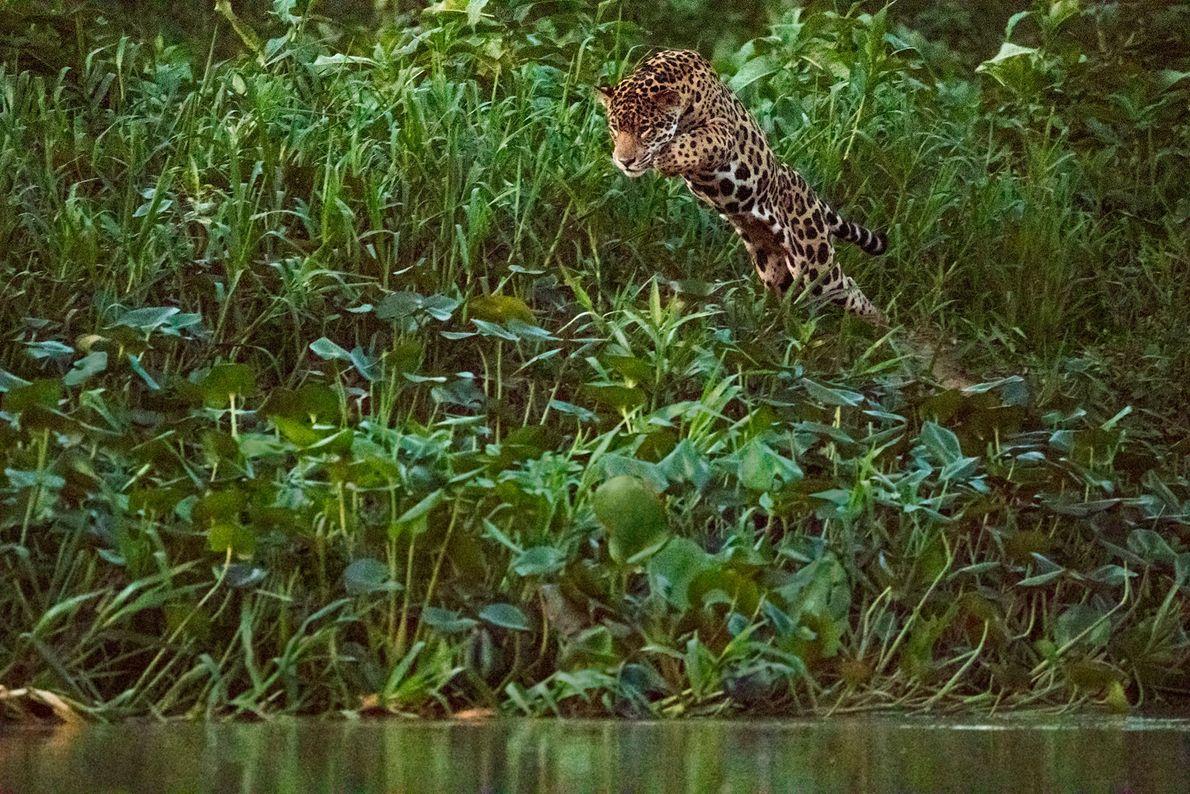 Un jaguar salta a un río