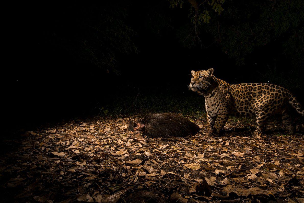 Un jaguar en el Caiman Lodge