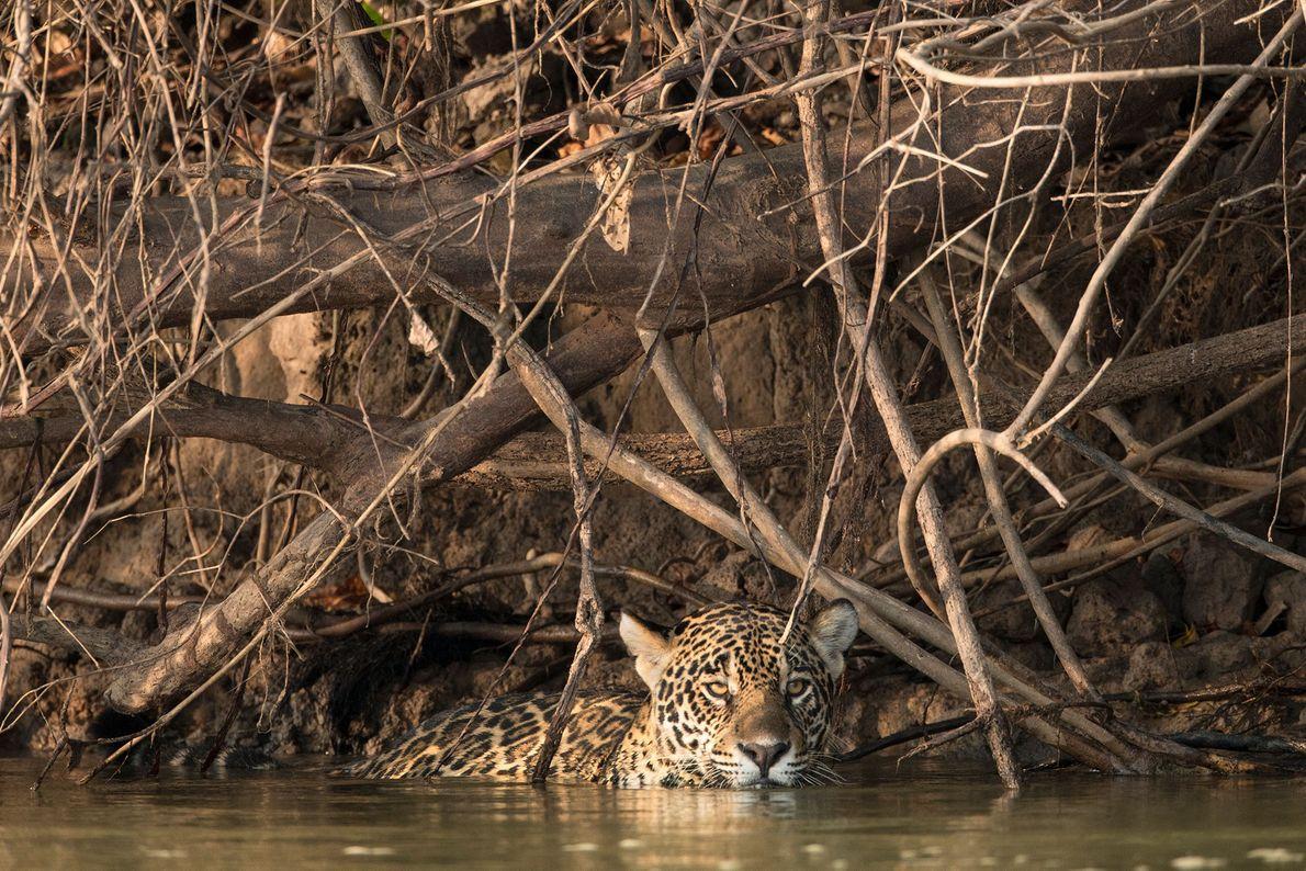 Un jaguar nadando