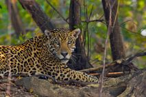 Jaguar en Surinam